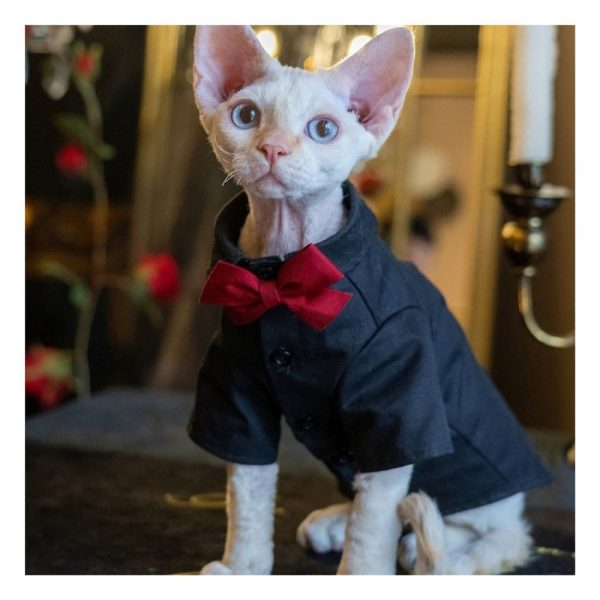 Sphynx With Wedding Outfits | Luxurious Wedding Oufit For Cats