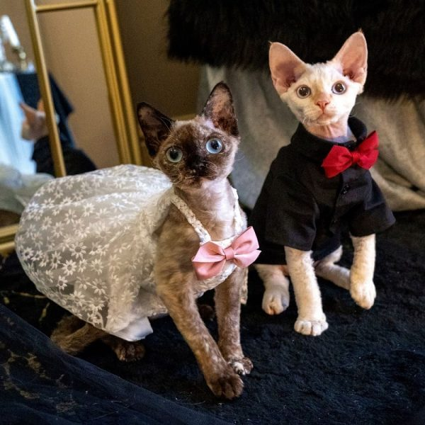 Cat Wedding Outfits | I Do, Too! Cute Luxurious Wedding Oufit For Cats