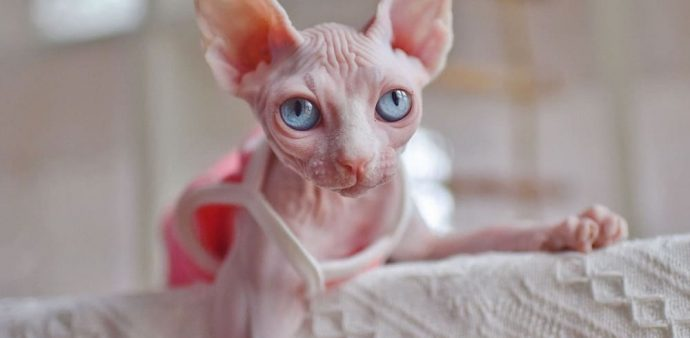 Sphynx cat-tank top halter breathable,Feeling of fresh